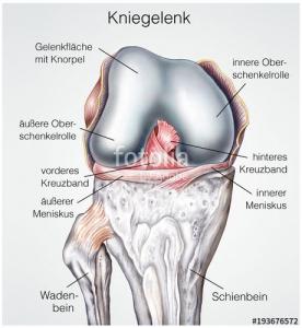 Anatomie Kniegelenk mit Kreuzband